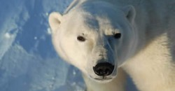 Polar bear - Heartland International Travel and Tours - Churchill Polar Bear Tours - Winnipeg - Manitoba