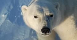 Polar bear - Heartland International Travel and Tours - Churchill Polar Bear Tours - Winnipeg - Manitoba