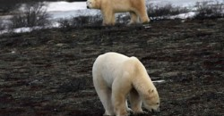 Polar bears - Heartland International Travel and Tours - Churchill Polar Bear Tours - Winnipeg - Manitoba