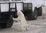 Polar bear on buggy