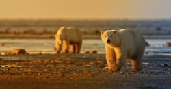 Polar bears - Heartland International Travel and Tours - Hermetic Code Tour - Winnipeg - Manitoba