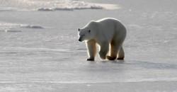 Polar bear walking - Heartland International Travel and Tours - Churchill Polar Bear Tours - Winnipeg - Manitoba
