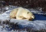 Polar bear with paws crossed