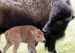 FWA Bison
