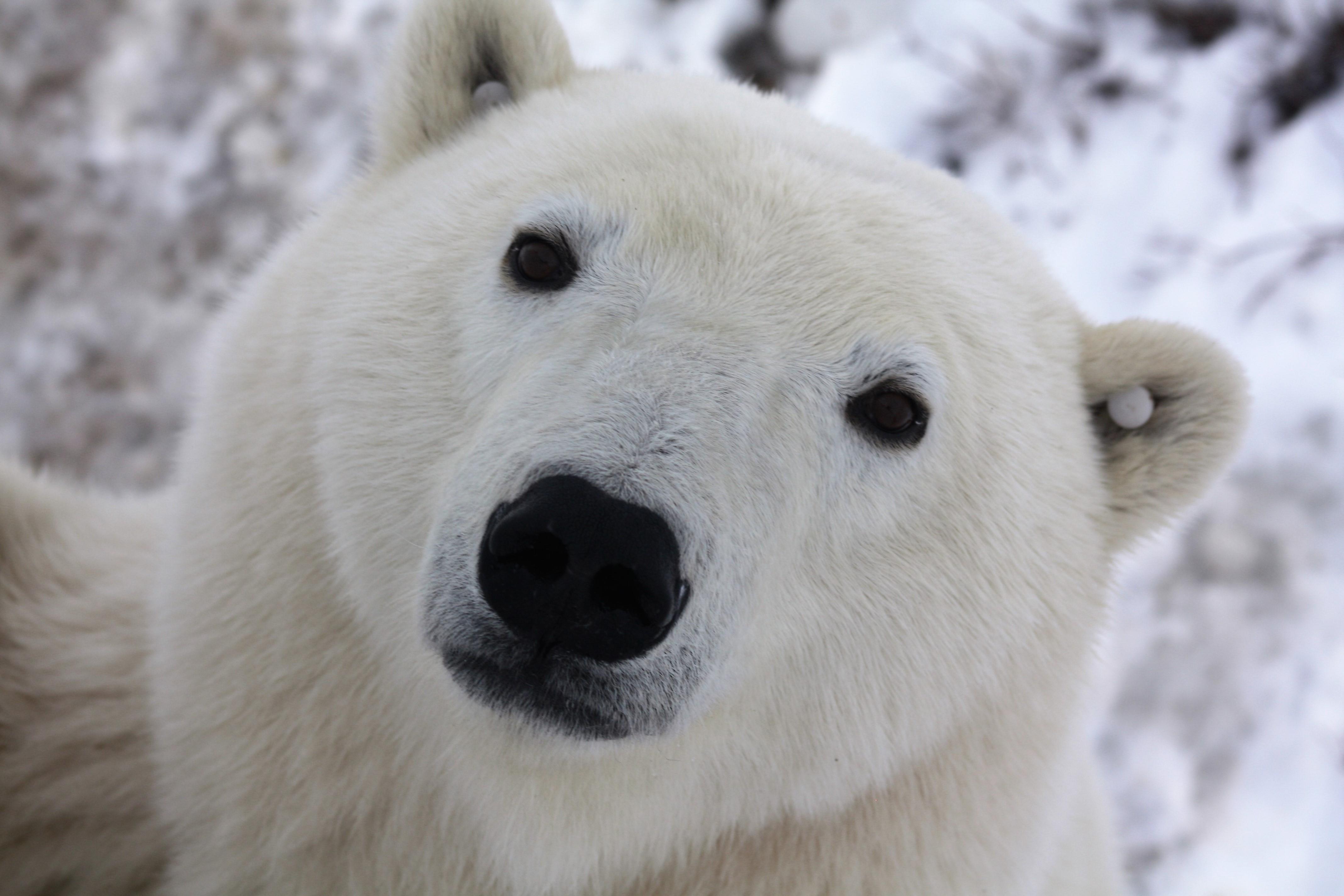 Churchill Polar Bear Day Tours